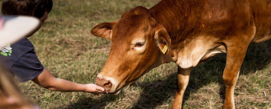061.Yabbaloumba-feeding-cows