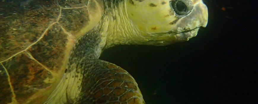 Turtle at night on HMAS Brisbane-web