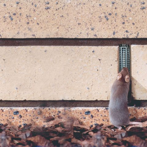 Protect your home now from predicted mice plague in Victoria
