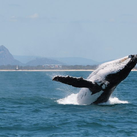 2020 Sunshine Coast Whale Watching Season is here!