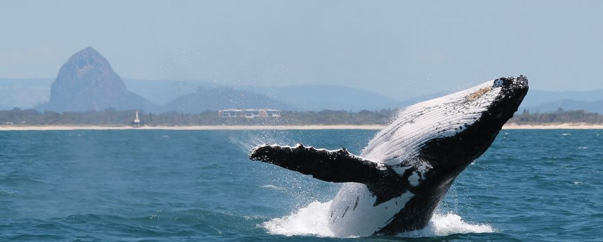 whale-breaching-in-front-of-glasshouse-mtns-1-photo-by-katie-jackson-web