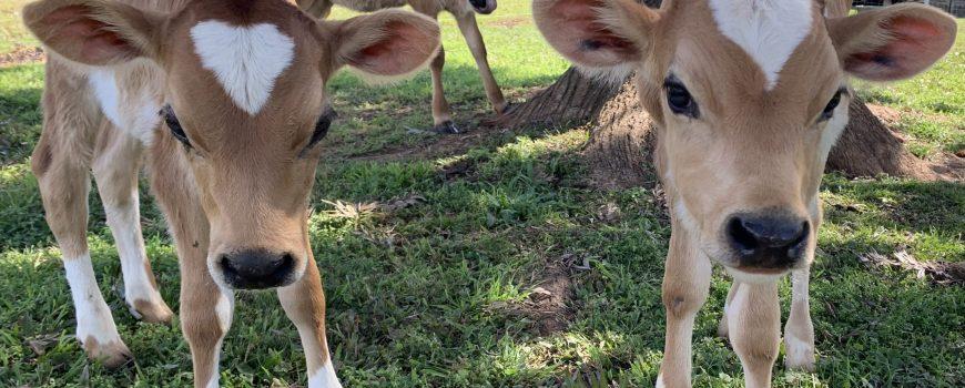 Yabba - Twin calves Honey and Henry